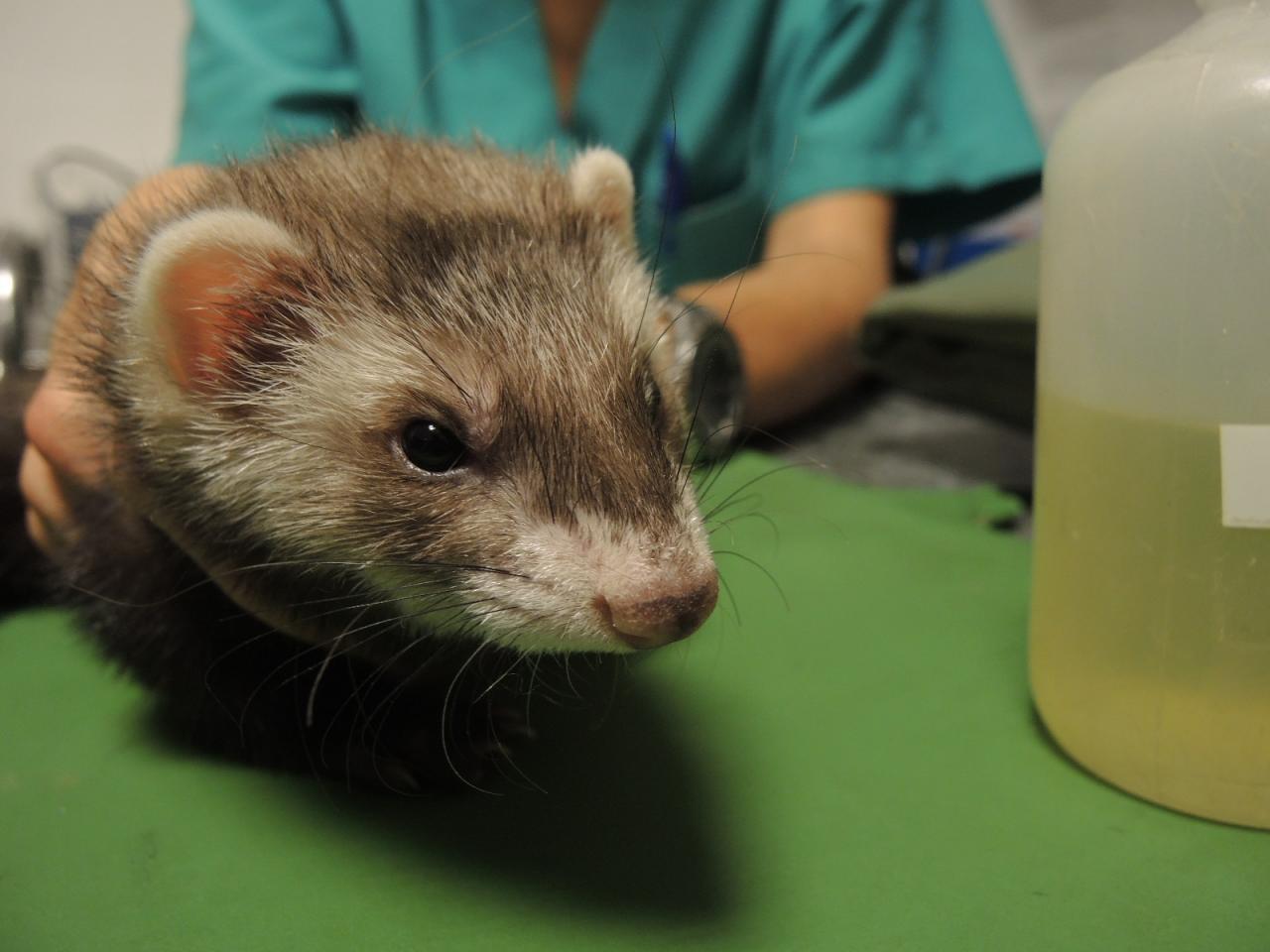 Kitty, furette atteinte de lymphome