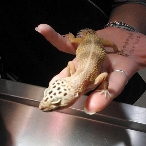 gecko ovariosalpyngectomie carré1