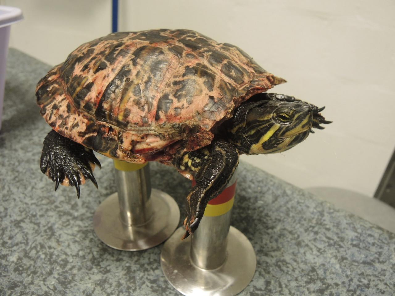 morsure de carapace chez une tortue d'eau