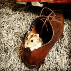 Abris hamster