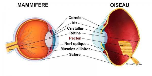 Anatomie comparee oeil mammifere oiseau perroquet dr nacophile