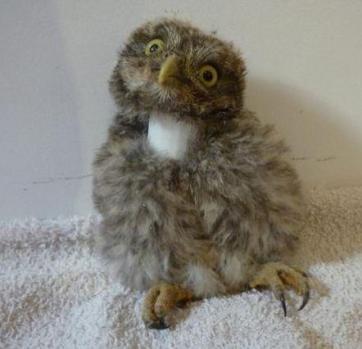 Chouette minerve veterinaire oiseau