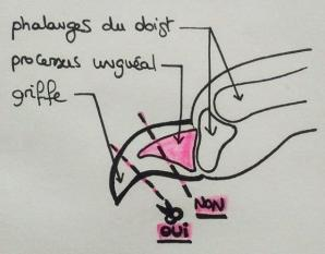 Coupe griffe schema