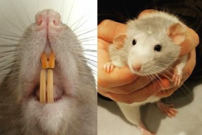 Dents jaunes rat et rongeurs normal veterinaire nac dr coquelle