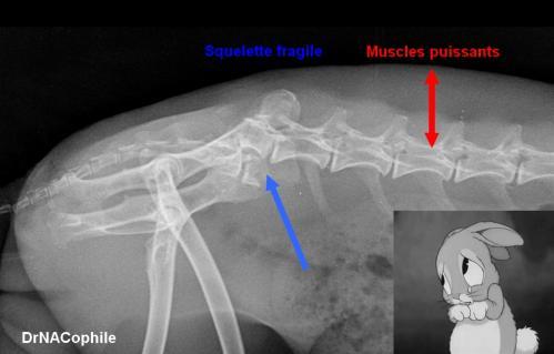 Fracture vertebrale lapin contention dr NACophile vétérinaire NAC Paris
