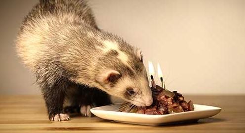Furet raw food