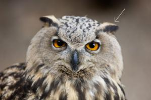 Gros plan hibou grand duc europe