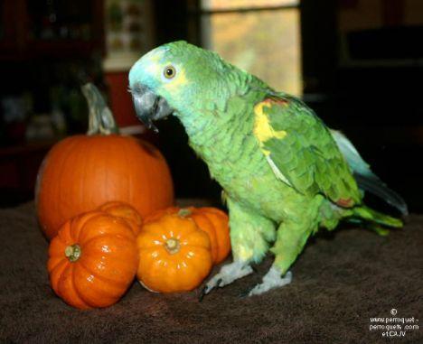 Halloween perroquet