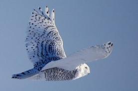 Harfang des neiges femelle vol
