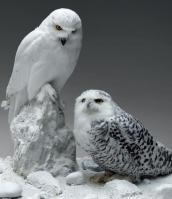 Harfang des neiges male femelle