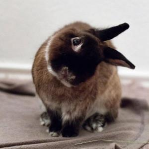 Head tilt rabbit