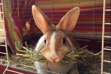 Lapin foin bouche grossesse nerveuse lapine