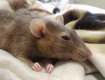 Rat leptospirose dépistage prise de sang Paris contagion zoonose Homme transmission vétérinaire NAC