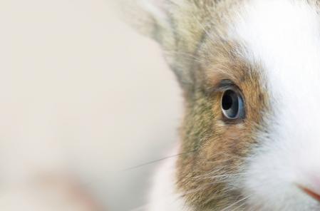Oeil lapin vision nocturne lapin voit nuit dr coquelle nacophile drnacophile