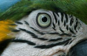 Oeil perroquet