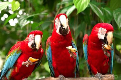 Perroquet nature