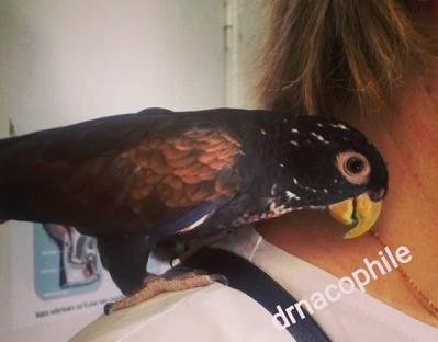 Perroquet pionus a aile cuivre
