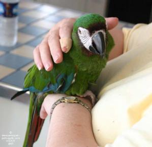 Perroquet tendresse