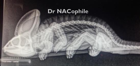 Radiographie cameleon veterinaire nac paris dr coquelle nacophile reptile