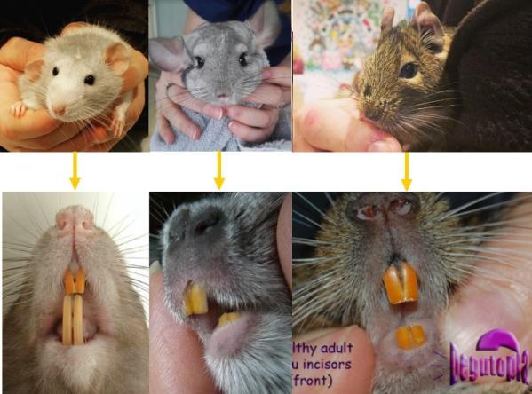 Rat avec dent jaunes rongeur dr nacophile coquelle veterinaire nac