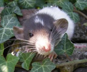 Rat dumbo