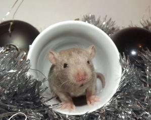 Rat oreilles standard