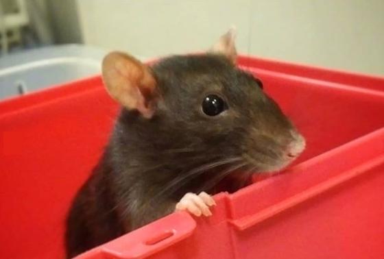 Ratte mignonne leptospirose rat compagnie dépistage vétérinaire NAC Paris Coquelle Dr NACophile