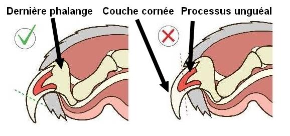 Anatomie schéma griffe lapin cochon d'inde cobaye coupe griffe veine saignement vétérinaire dr NACophile NAC vétérinaire Paris Dr Coquelle tuto tutoNAC tutoriel