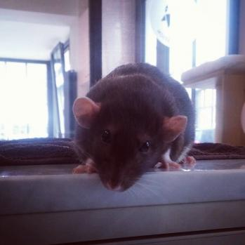 Tete penchee rat 1