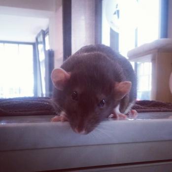 Tete penchee rat