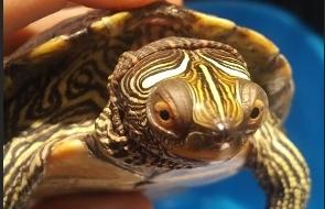 Tortue aquatique transport vétérinaire NAC reptile