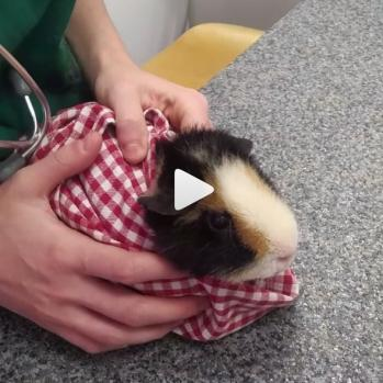 Tutoveto tutoriel vétérinaire bourrito sushi cobaye vidéo
