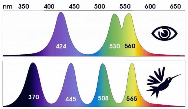 Vision oiseaux longueur d onde tetrachromatique 1